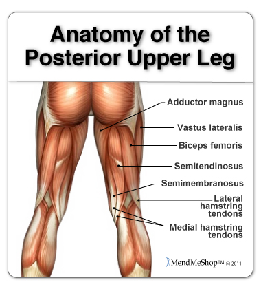 Anatomy Of The Hamstring Upper Leg